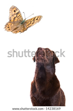 Labrador Watching Butterfly Patiently against a White Background