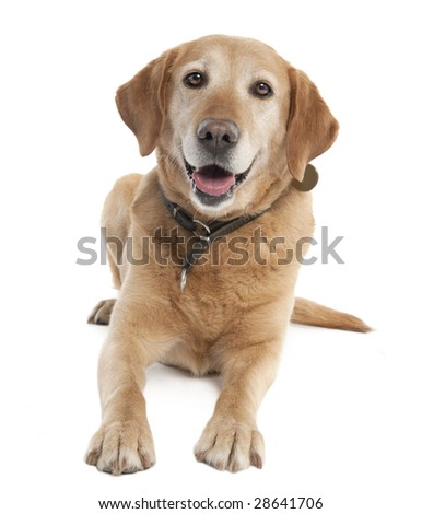 Labrador (7 years old) in front of a white background