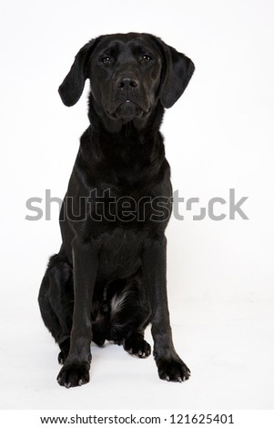 Labrador Young sitting Isolated on white