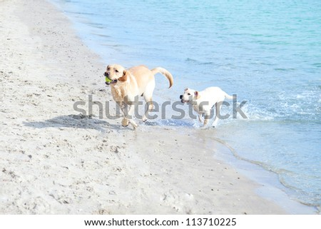 Labradors playing on the beach - stock photo