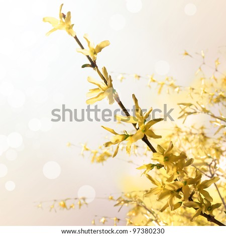 Laburnum spring flower - stock photo