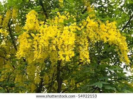 Laburnum Tree - stock photo