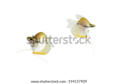 Lace gourami (Trichopodus leerii) isolated on white background.  - stock photo