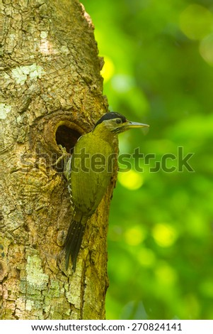 Laced woodpecker female at in the hole nature.  - stock photo