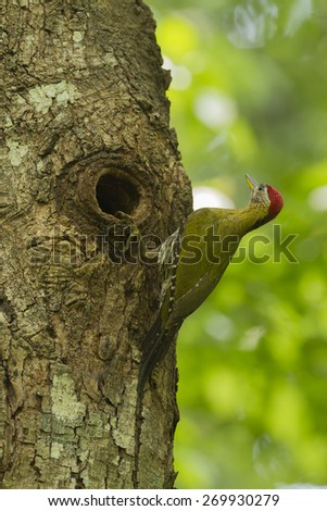 Laced woodpecker male in the hole nature. - stock photo