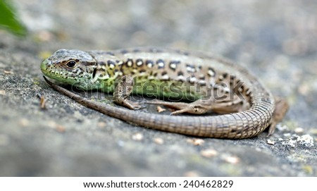 Lacerta agilis, Sand Lizard - stock photo