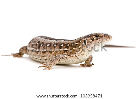 Lacerta agilis. Sand Lizard on white background