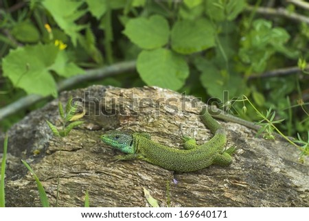 Lacerta viridis, European green lizard, South Germany