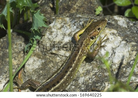 Lacertidae, wall lizards, true lizards