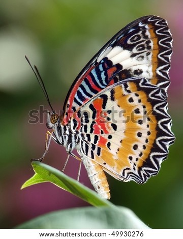 Lacewing Butterfly - stock photo