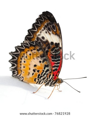 Lacewing Butterfly Isolated on white background - stock photo