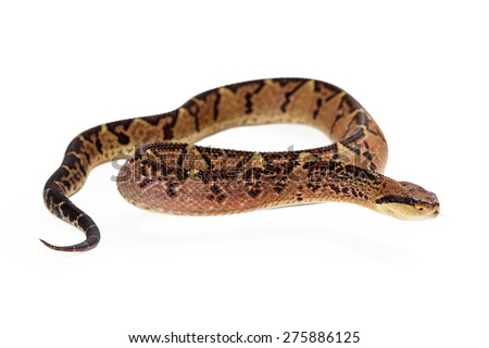 Lacheiss muta stenophrys, also known as Central American Bushmaster, a venomous pit viper snake found mainly in Central America and South America. Snake is lifting his body up and looking to the side - stock photo