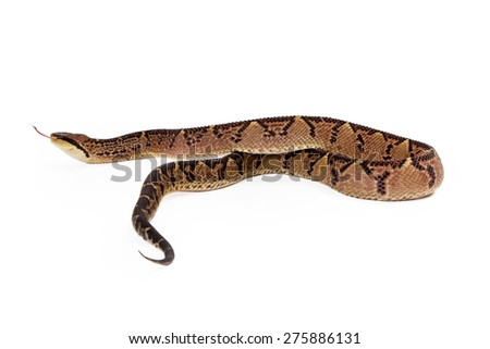 Lacheiss muta stenophrys, also known as Central American Bushmaster, a venomous pit viper snake found mainly in Central America and South America. Snake is looking and moving away from the camera.