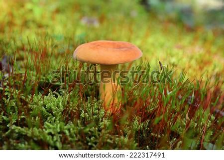 lactarius volemus mushroom  - stock photo