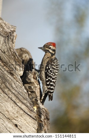 Ladder-backed woodpecker, Picoides scalaris, Arizona, USA, winter