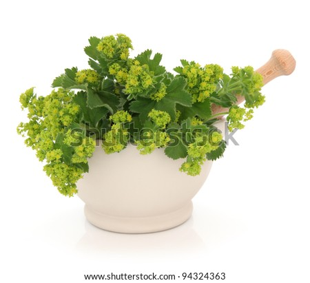 Ladies mantle herb flower sprigs in a cream stone mortar with pestle isolated over white background. Alchemilla. - stock photo