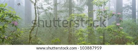 Lady Bird Johnson Grove of old-growth redwoods, California - stock photo