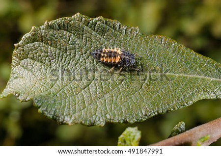 lady bird larva