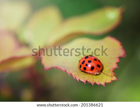Lady bird on the rose leaf in nice soft light - stock photo