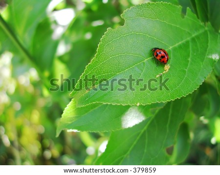 Lady bug laying eggs on a leaf - stock photo
