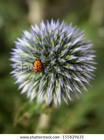 Lady bug on lone budding globe thistle - stock photo