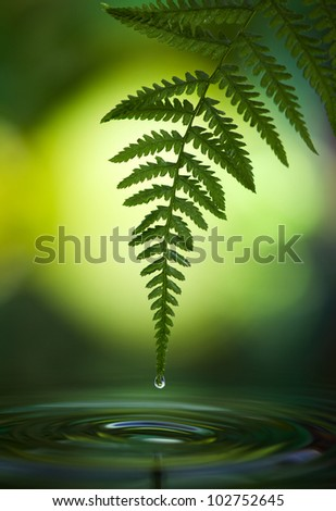 Lady Fern with Dew Drops over pool of water , Athyrium felix-femina - stock photo