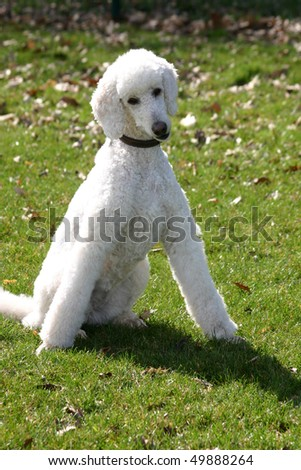 Lady Poodle - stock photo