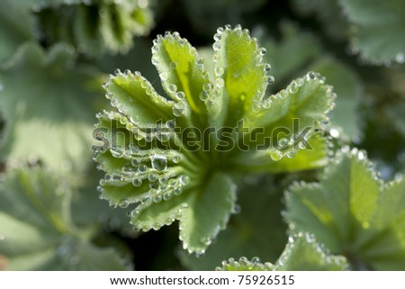 Lady`s mantle - stock photo