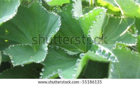 Lady's Mantle Dew Drops - stock photo