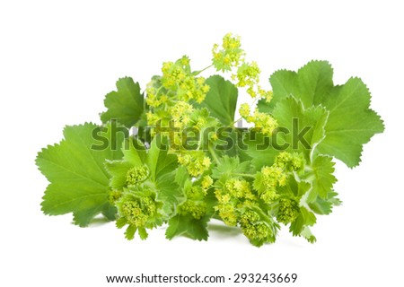 Lady's Mantle in flowering  isolated on white background - stock photo