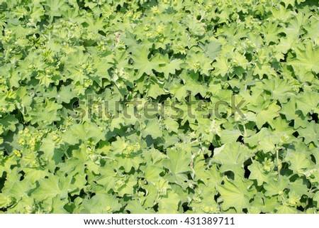 Lady's mantle or Alchemilla mollis plants. - stock photo