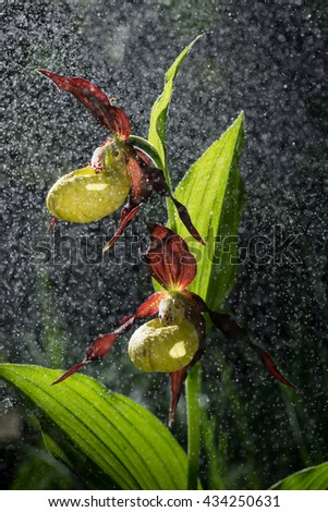 Lady's Slipper Orchid   bloom in the pouring rain like snowing. Blossom and water drops like snow. Yellow with red petals blooming flower in natural environment. Lady Slipper, Cypripedium calceolus. - stock photo