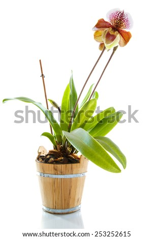 lady's slipper orchid on a white background - stock photo