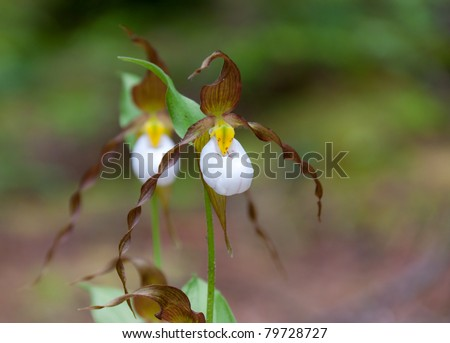 Lady slipper blossoming in the forest - stock photo