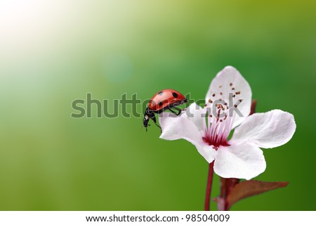Ladybird and cherry blossom with green background - stock photo