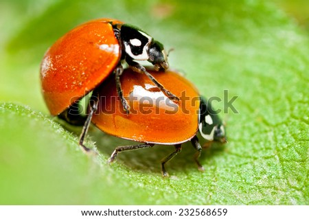 Ladybird Beetle (Cycloneda sanguinea) pair copulating. Patagonia, Argentina, South America. - stock photo