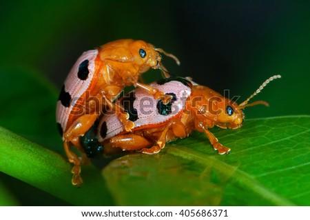 Ladybird breed Love-making ladybugs couple  - stock photo