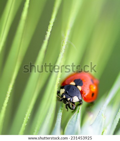 ladybird  closeup on green leaves - stock photo