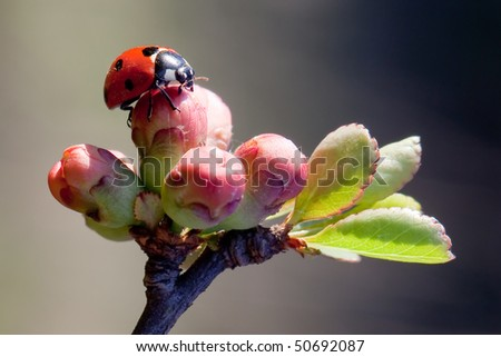 Ladybird early morning on a spring blossom - stock photo