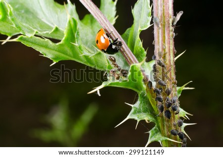 ladybird hunts aphids protected by ants - stock photo