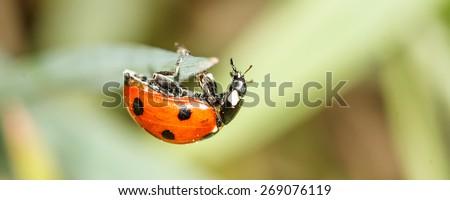 ladybird insect climbing flower stem (Coccinellidae septempunctata) - stock photo
