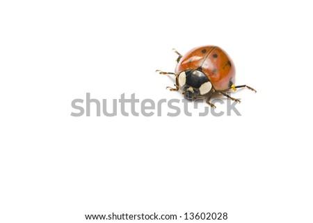 Ladybird isolated - stock photo
