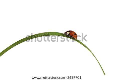 Ladybird/ladybug on grass blade. Isolated on white background. - stock photo