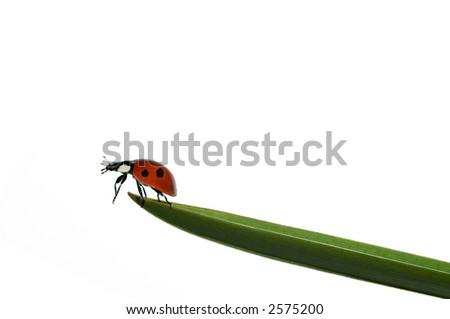 Ladybird/ladybug on top of grass blade. Isolated on white background. - stock photo