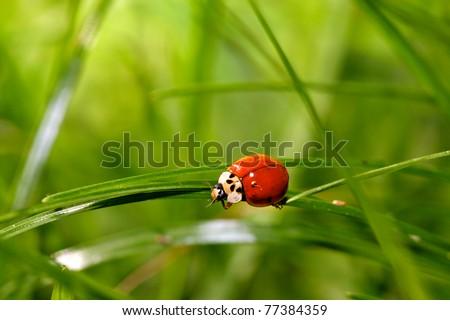 Ladybird on a blade of grass - stock photo