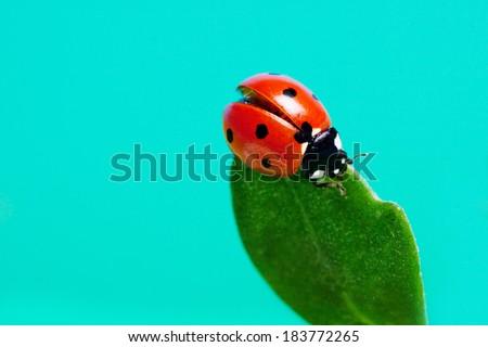 Ladybird on a green leaf against the sky . - stock photo