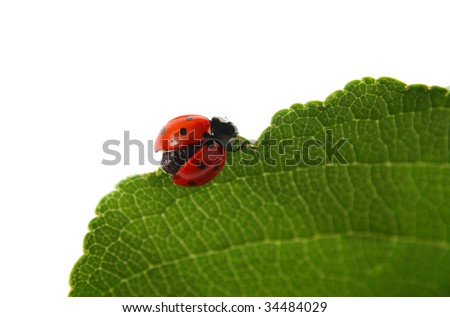 ladybird on a green leaf, spreading wings to fly, isolated on white background - stock photo