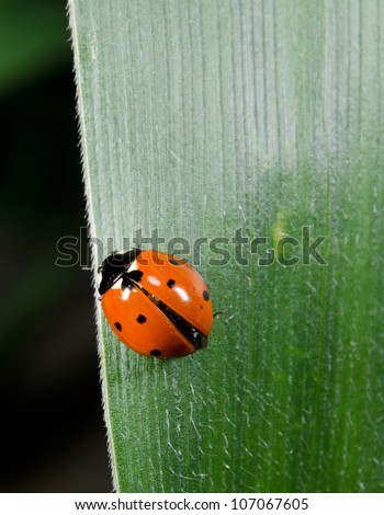 ladybird on alert - stock photo