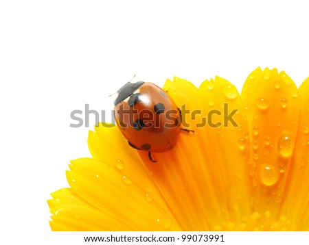 Ladybird on an orange flower