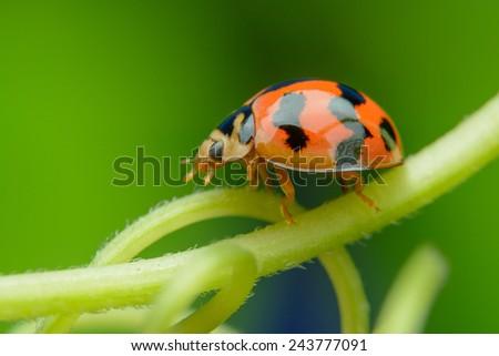 Ladybird on winding branches - stock photo